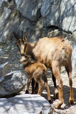 Alpenzoo Innsbruck - Gamsmutter und Gämschenkind (1)